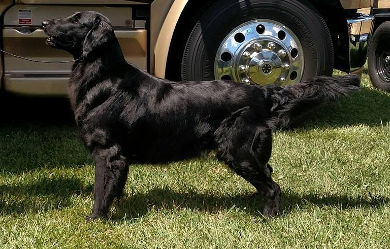 The Flat-Coated Retrievers and Beagles of Blazin Kennels